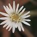 Pineland Daisy (Chaptalia tomentosa)