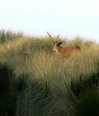 stag in dunes