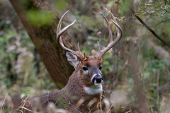 White-tailed Deer Buck (Hard-Rain) Tags: trees game tree nature animals digital forest canon eos illinois woods hiking wildlife hunting hike deer antlers rack buck naperville mountainbiking mammals stalk mammalia hunt whitetail deerhunting whitetailed whitetaileddeer odocoileus odocoileusvirginianus napervilleillinois cervidae chordata 8point artiodactyla explore20 springbrookprairie