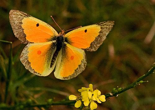 Sulphurs Butterfly