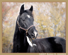 Trouble (Rock and Racehorses) Tags: portrait horse white black paint explore trouble tobiano anawesomeshot irresistiblebeauty flickrdiamond thefinesthorses
