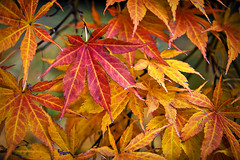 japanese_maple (taryntella2) Tags: trees red orange leaves gold foliage thumbsup photofaceoffwinner pfogold thepinnaclehof tphofweek122