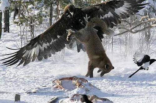 never bother an eagle when he is eating