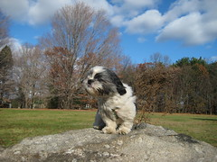 west wind (pondblue) Tags: rock puppy backyard wind connecticut ct windy adopted rescued poptart queenofthemountain  weatherphotography