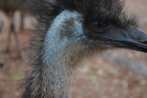 Angry looking emu at Stuart's Well Camp site...