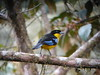 Blue-winged Mountain-Tanager 3 (mlretter) Tags: nwecuador wvenezuela