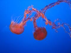 IMG_0758.JPG (joelaz) Tags: aquarium monterey jellyfish acquarium