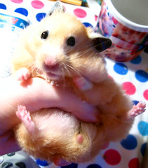 UFO (pyza*) Tags: pet cute animal golden rodent critter hamster hammy syrian hammie chomik