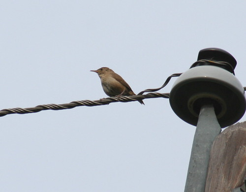 house wren pole
