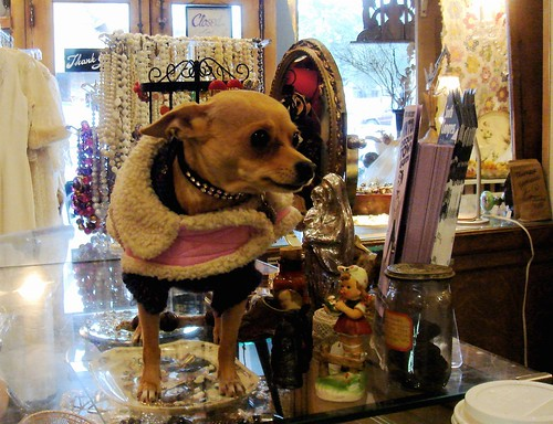 Chihuahua in a junk shop