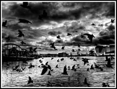 The birds - els ocells - los pájaros