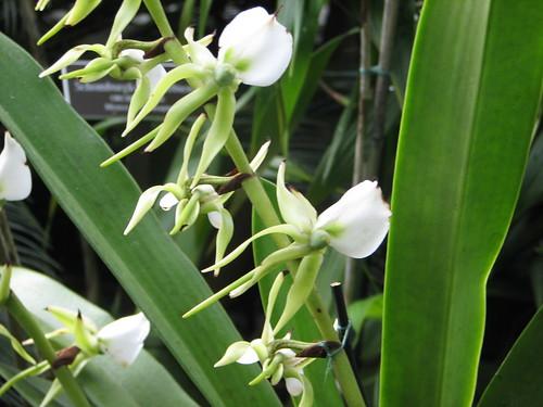 Angraecum eburneum Bory