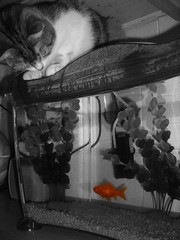 Day 136 - Bernard (JonSaunders) Tags: orange fish water cat lunch goldfish hunting fishtank hunter 365 pesky colourspotting