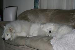 Nanook & Kody (nwtarcticrose) Tags: schnee dog pet pets dogs smile animal animals samoyed fluffy hund 5bestdogs sammy doggie hunde kody kanada whitedogs whitedog nanook samoyeds samoyedo samojed gandale heppse weiserhund samoyedwelpe