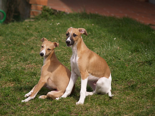 Whippet puppies: Anukis & Quentin (15 weeks old)