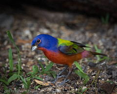 Male Painted Bunting (Michael Pancier Photography) Tags: blue red male green nature birds westpalmbeach fineartphotography songbirds naturephotography seor paintedbunting naturesfinest passerinaciris naturephotographer floridabirds okeeheeleenaturecenter floridaphotographer michaelpancier michaelpancierphotography diamondclassphotographer floridaavianphotography wwwmichaelpancierphotographycom seorcohiba floridabirdsbirdsofflorida