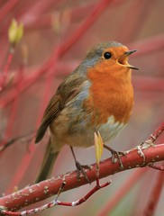 Hello Batman, Robin Calling! (Chris*Bolton) Tags: ireland tree bird robin birds call branch robins perch calling wicklow soe birdwatcher iloveit naturesfinest digitalcameraclub supershot rathdrum naturesgallery visualconcept platinumphoto superaplus avianexcellence naturewatcher goldstaraward natureselegantshots 100commentgroup thewonderfulworldofbirds
