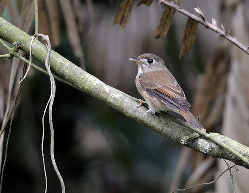 Brown-breasted-flycatcher (Muscicapa muttui)