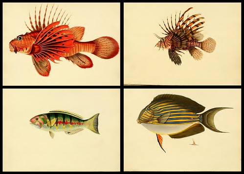Fishes of Ceylon 1834 b