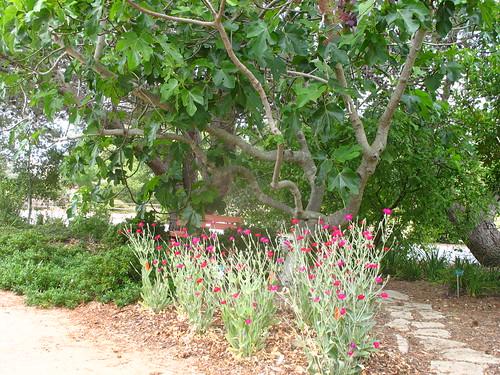 Lychnis under Ficus carica