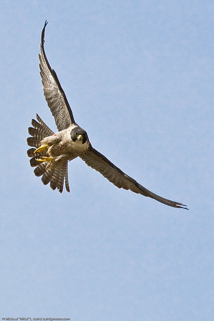 1 of 9 Peregrine Falcon Adult Morro Bay CA 27 May 2008 by mikebaird