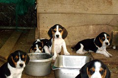 Brothers and Sisters (jamiebean716) Tags: dog cute beagle puppy pups pup