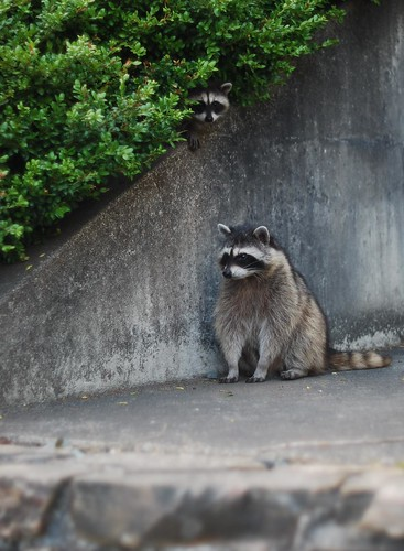 racoon and baby