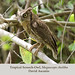 Tropical Screech-Owl, Megascops choliba
