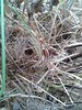 HARVEST MOUSE NEST NEUTRAL GRASSLAND 20151216_103812 (Coventry City Council) Tags: coombecountrypark coombeabbey coventry