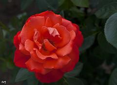 Rosa... (svet.llum) Tags: rosa flor flores planta verano