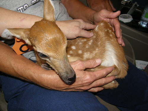 Baby Buck