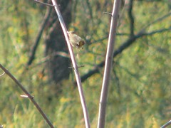 female yellowthroat in mid air