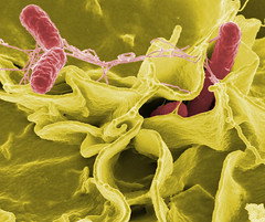 Salmonella invades human cells