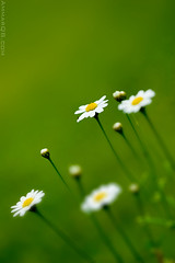 White Dreams (Ammar Alothman) Tags: flowers white flower color macro green colors rose yellow this is photo bokeh morocco maroc noon kuwait dedicated ammar kw 2007 rabat q8 specially  canon30d  vwc canonef100mmf28macrousm ammaralothman  kuwaitiphotographer ammarq8 ammarphotography kvwc kuwaitvoluntaryworkcenter  kuwaitvwc alemdagqualityonlyclub