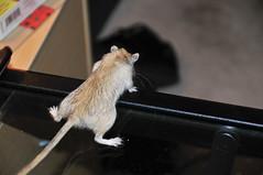 Long way down! (ArtBrom) Tags: cute gerbil nikon d300