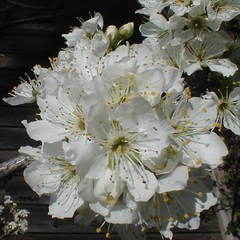 Delicacy (jhhymas) Tags: california white flower yellow petals spring backyard sanjose stamens picnik springtime plumblossoms