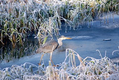 Skating Heron (mystic_mabel) Tags: cold holland bird ice heron nature water netherlands dutch d50 reeds frozen skating thenetherlands freezing naturesfinest blueribbonwinner mywinners theunforgettablepictures betterthangood worldwidelandscapes