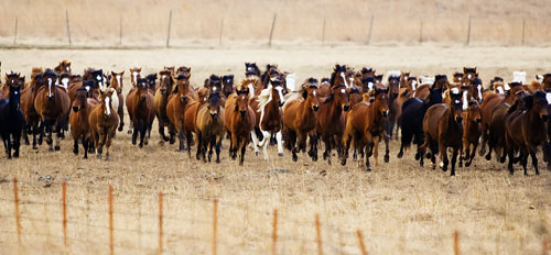 gathering mares 069