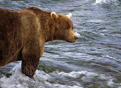 Waiting for Dinner to Swim Upstream (JLMphoto) Tags: bear brown alaska river fishing searchthebest grizzly naturesfinest katmai specanimal animalkingdomelite platinumphoto superbmasterpiece diamondclassphotographer megashot citrit jlmphoto