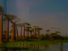 마다가스카르에는 바오밥 나무..