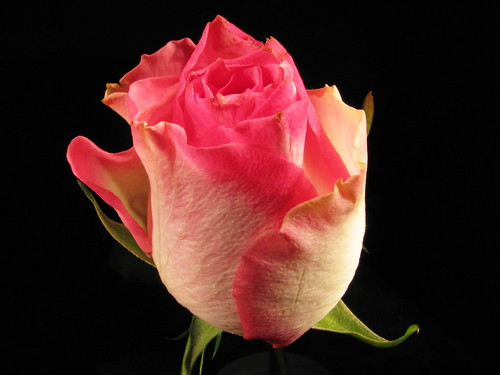 2008 Valentine Rose 6