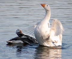 Eh-up! You scary bird! (freebird4) Tags: uk white bird water geese shropshire sigma nikond50 goose mere ellesmere naturesfinest mywinners freebird4 anawesomeshot impressedbeauty avianexcellence diamondclassphotographer