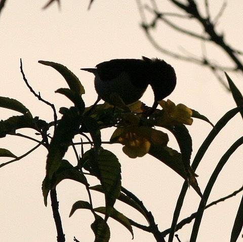 purple-rumped sunbird on flowers turahali