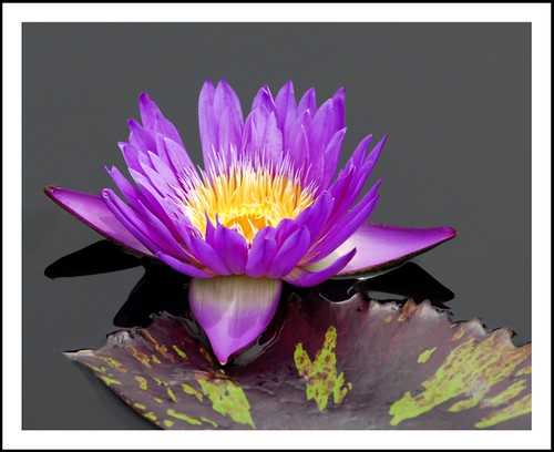 Another Water Lily at the Botanical Garden