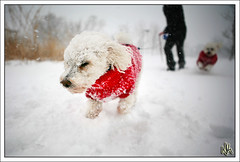 Keep On Truckin' (i ea sars) Tags: snowflake old winter portrait usa dog pet snow chicago storm motion cold dogs weather animal america puppy fun illinois sweater spring movement midwest energy action bokeh snowy hiver nieve joy snowstorm running perro hund snoopy fv10 5d bichon frise bichonfrise canon5d invierno doggy alive joyful aging inverno zima canonef2470mmf28lusm mascota 2470l ef2470mmf28lusm bestfriends pes determination lively petrait unstoppable 2470mm   energetic pejsek canoneos5d top20dogs snih  mywinners unusualseasons theperfectphotographer canonwinter
