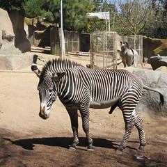 (bristolowl) Tags: california pee animal penis zoo sandiego zebra