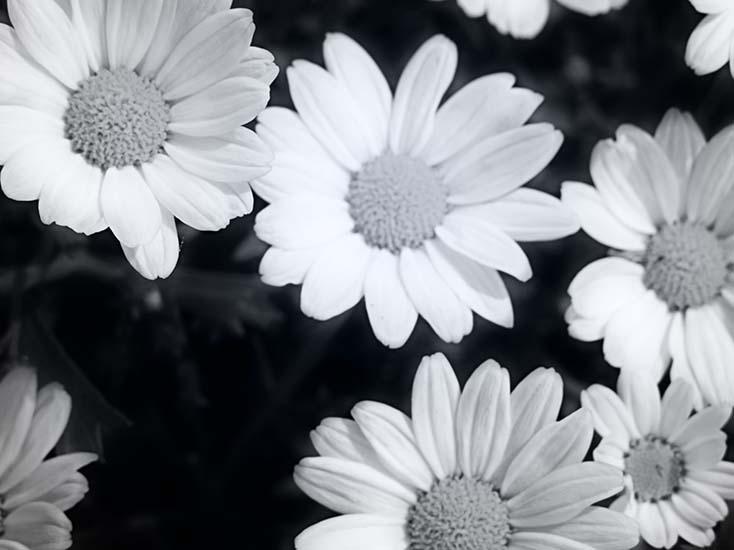 Photography - White Petals by Nicholas M Vivian