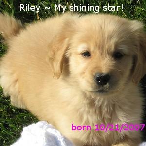 eating grass - Golden Retrievers : Golden Retriever Dog Forums