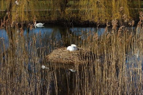 白鳥は巣で雛がかえるのをまっていた。