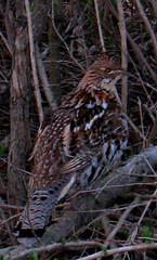Partridge (Artist Naturalist-Mike Sherman) Tags: bird photo partridge ruffedgrouse midmichigan
